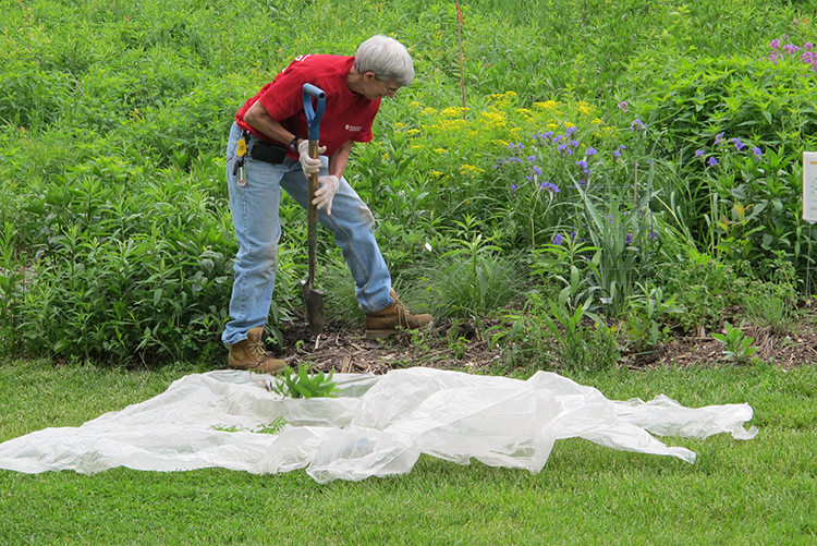 Sharon Treaster plants Rattlesnake Master to attract bees