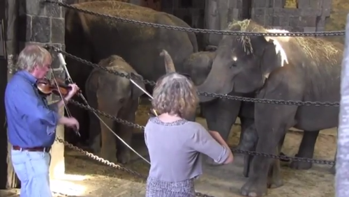 Elephants at the Pairi Daiza Zoo in Belgium sway to music being played by two violinists.
