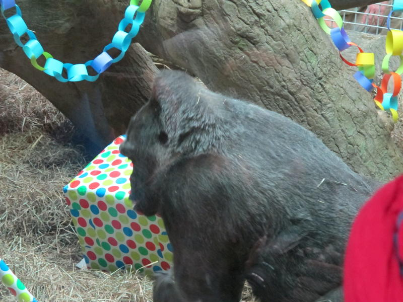 Colo received gifts of toys, fruit and a cake to mark her 59th birthday at the Columbus Zoo.