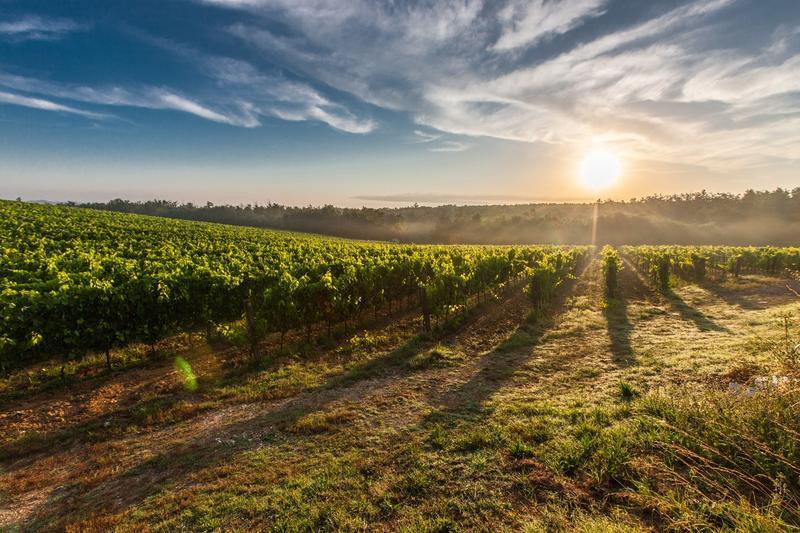 A Tuscan vineyard at sunset.