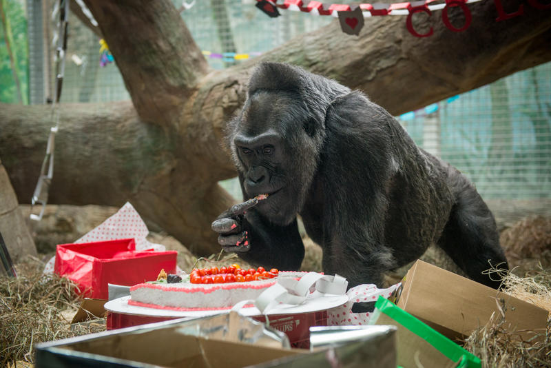 Colo celebrated her 58th birthday at the zoo with a celebration and cake made just for her.