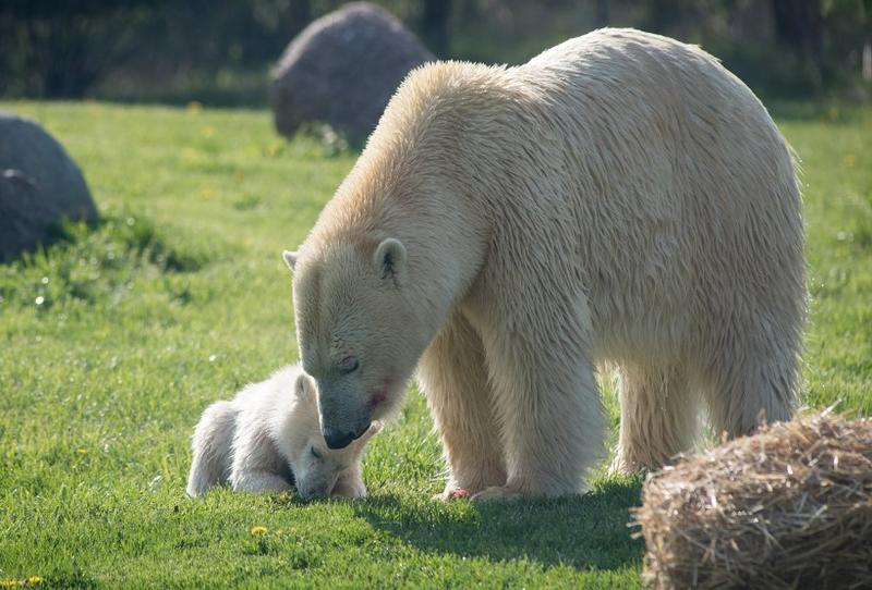 The five-mont-old polar bear cub went on display Wednesday with her mother, Anana.