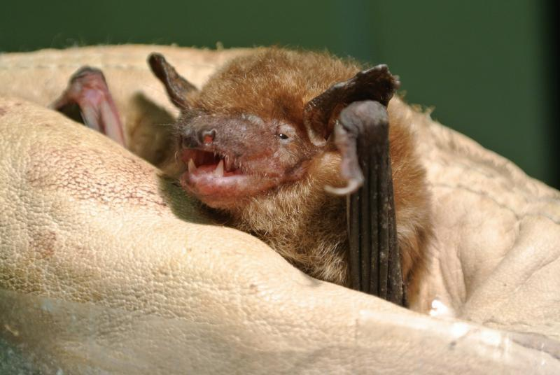 This female big brown bat is 12 years-old, well into middle-age, but she isn't showing her age. Researchers are studying bats to discover their secrets for avoiding age-related declines.