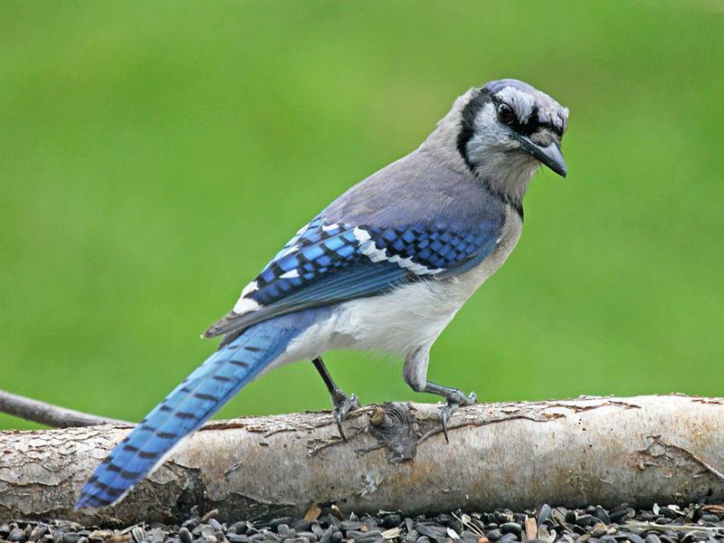 A blue jay peers over shoulder