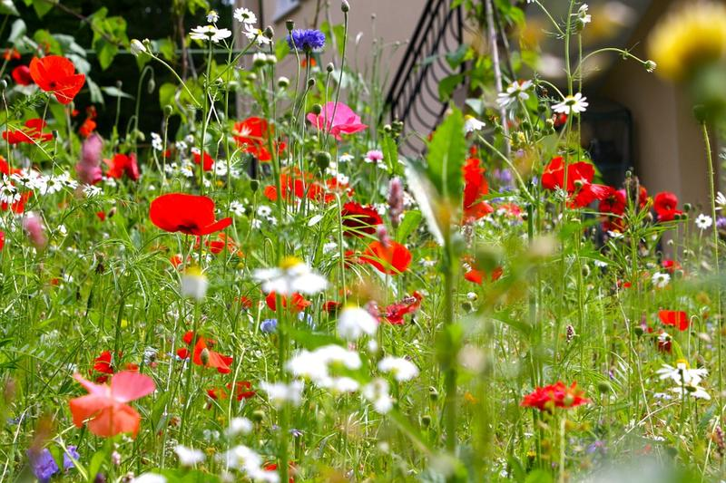 Poppies bloom in a meadow