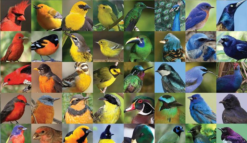 Birds display a rainbow palette of colors, many of which come from special arrangements of melanin, the pigment that gives color to our skin.