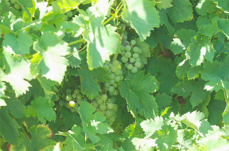 Grapes at 21 Brix Winery and farm in western New York.
