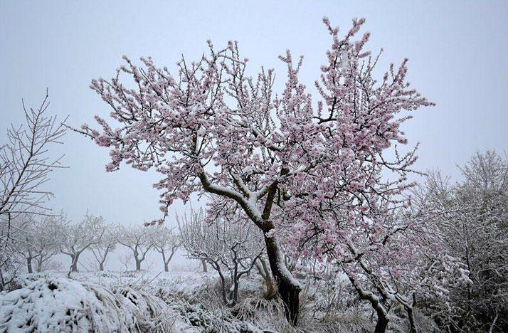 A snow covered almond tree
