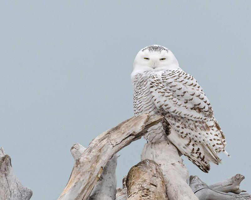 "Cleveland is having a record season of snowy owl sightings, due to a phenomenon called an ""irruption."""