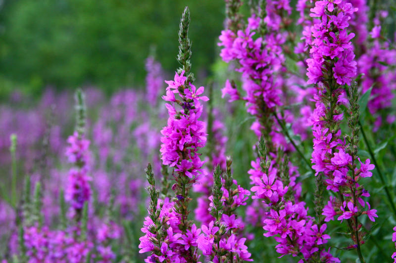 Purple loosestrife is an invasive plant species that is found throughout Ohio.