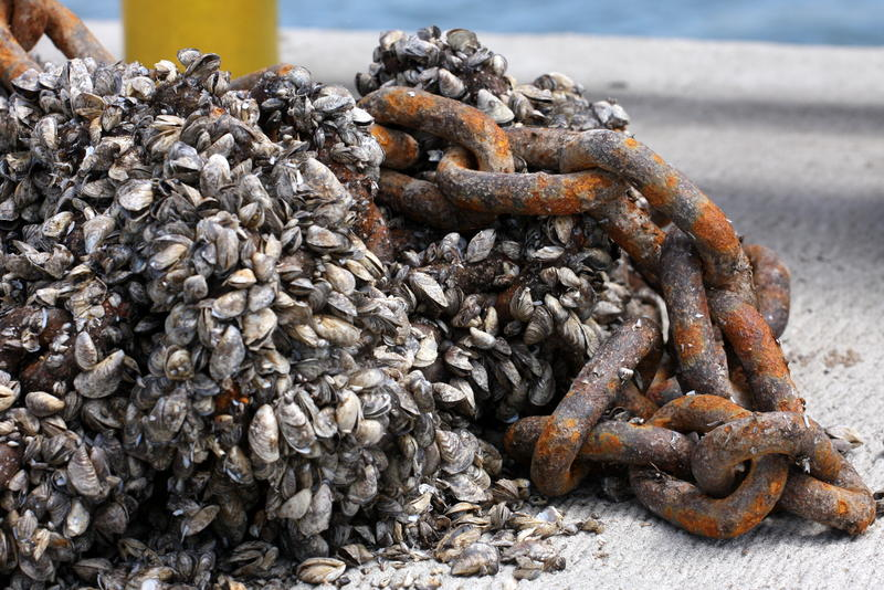 Zebra mussels are considered an invasive species on the Great Lakes.