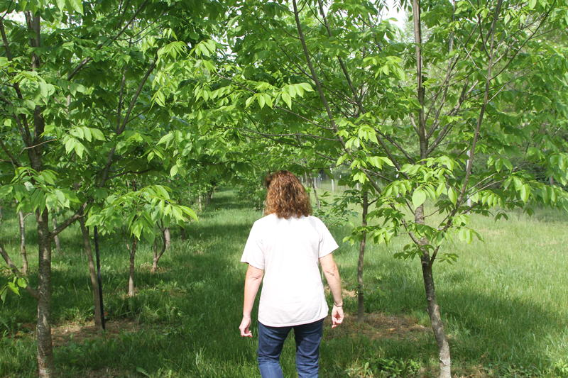 Jennifer Koch walks between rows of ash trees at the Northern Research Station in Delaware County.