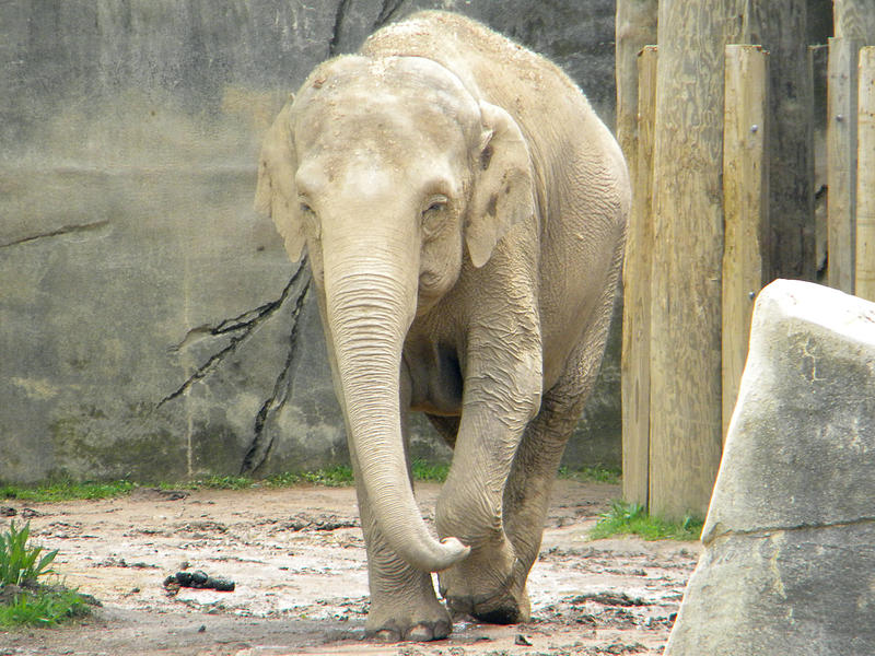 "Phoebe, an Elephant at the Columbus Zoo, photographed in 2010. The zoo's elephants are one of the animals featured on National Geographic Wild's ""Secrets of the Zoo"" miniseries."