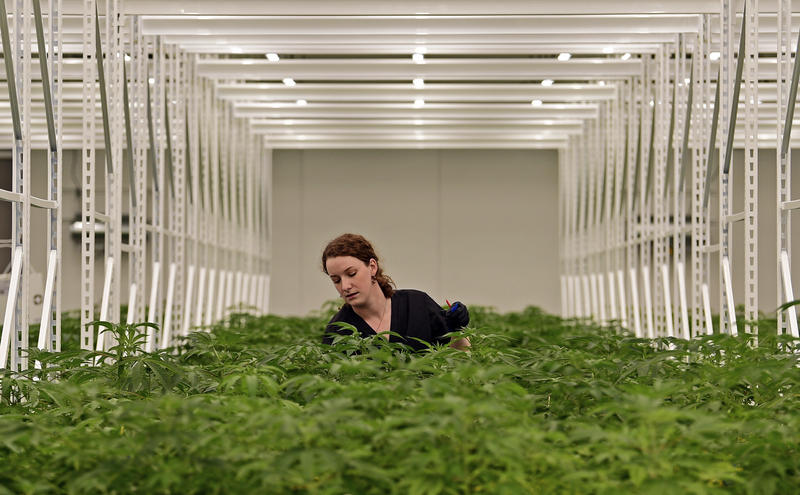 Carmen Fultz, an employee of Buckeye Relief LLC, sorts the male and female marijuana plants inside a Veg Room, in Eastlake, Ohio.