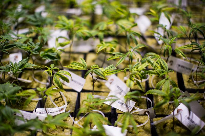 Marijuana saplings at Cresco Labs in Yellow Springs, which celebrated its grand opening this week.