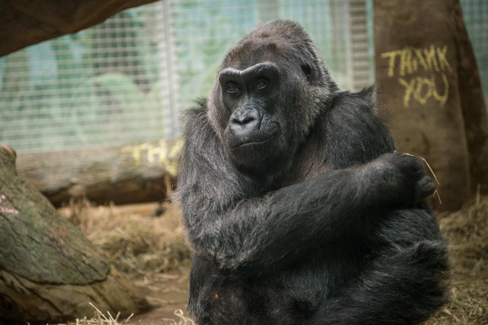 Colo, oldest gorilla, dies at 60