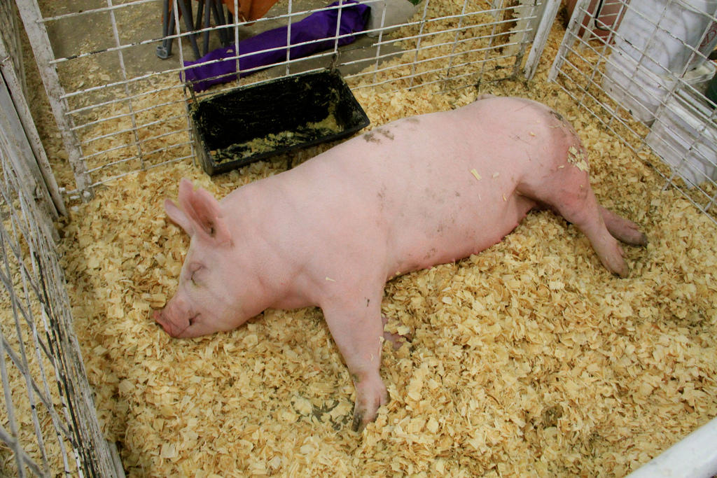 Swine Flu Leads To Slaughter Of 50 Hogs At Franklin County