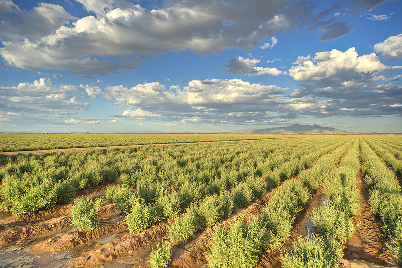 In 2013, Bridgestone began growing its own guayule in Eloy, Arizona.