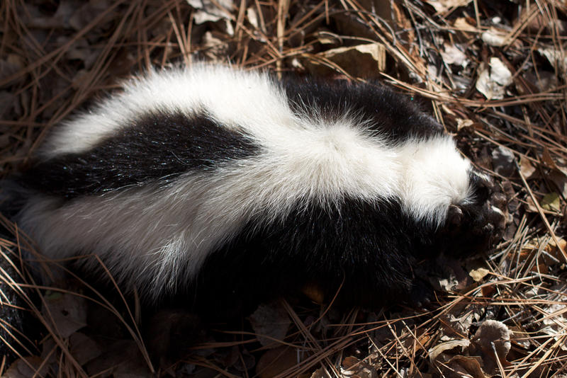 Lawmakers claim pet skunks can sell for as much as $1,000.