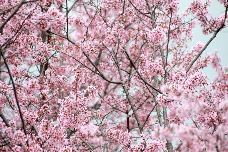 cherry blossom Nashville