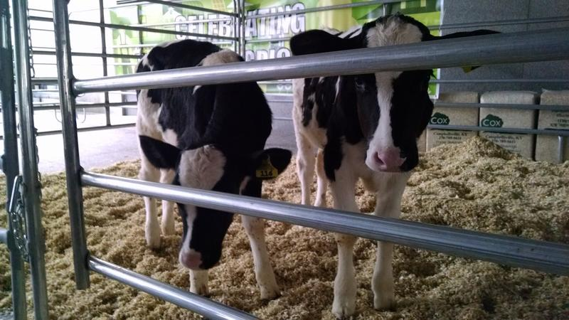 Raven and January, a pair of Holsteins born earlier this year, wait outside Legislative Plaza.