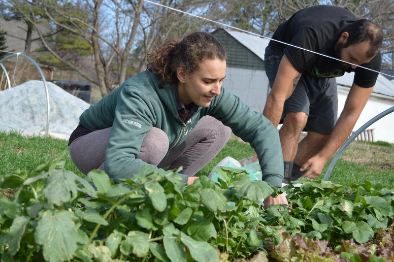 Heather Sevcik harvesting greens on her farm along with an intern.
