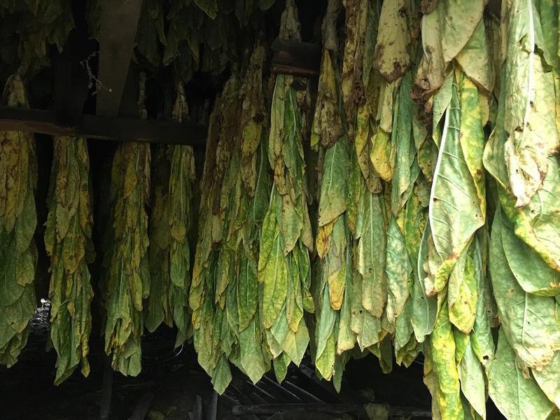 Air-cured tobacco on Joey Knight's farm in Joelton.