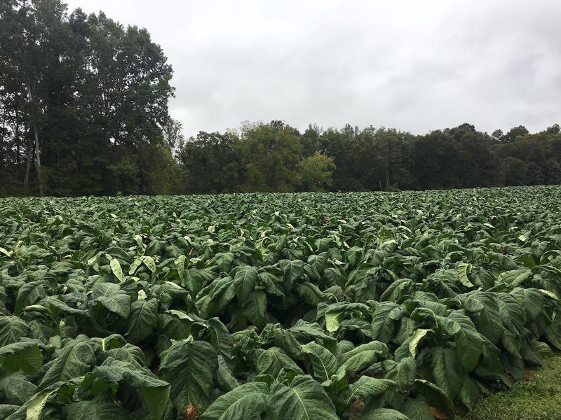 One of Joey Knight's tobacco fields, just about ready for harvest.