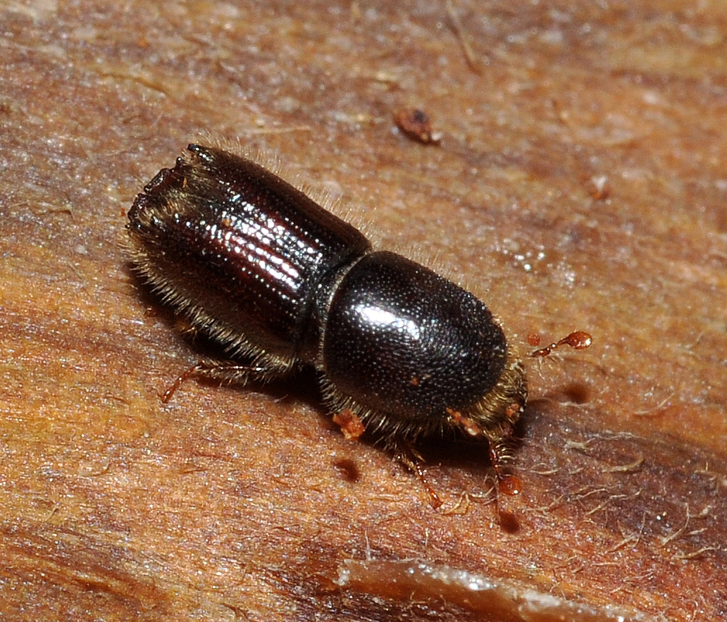 pine beetle The southern pine beetle (spb), dendroctonus frontalis zimmermann, is the most  destructive insect pest of pine in the southern united states a recent historical.