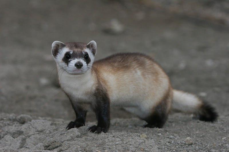 wyomingpublicmedia.org - Cooper McKim - Wild-Born Black-Footed Ferret Kits Found Outside Of Meeteetse