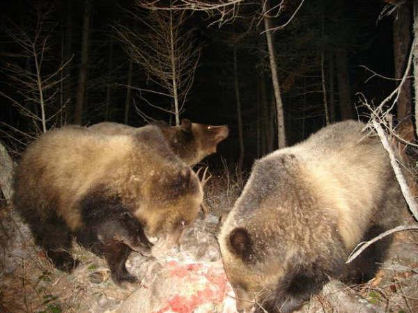 Three Grizzlies Chow Down On A Dead Deer