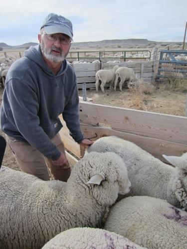 Riverton rancher Pierre Carricaburu examines sheep before fall shearing.