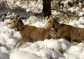 Game and Fish release big horn sheep in the Seminoe Mountains