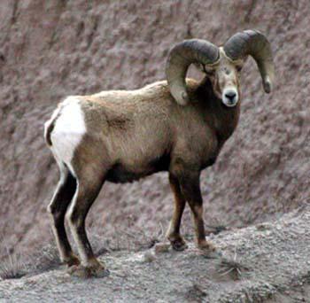 Wyoming Hopes To Battle Pneumonia In Bighorn Sheep | Wyoming