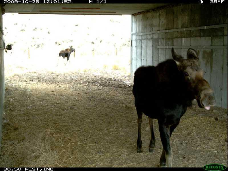 A moose walks through the wildlife underpass at nugget canyon along US Highway 30 between Sage Junction and Kemmerer.