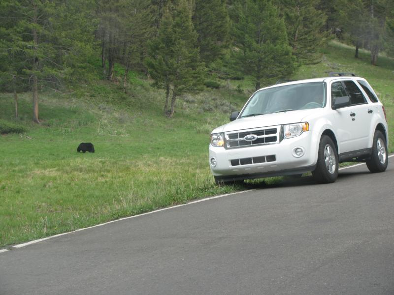 Yellowstone National Park is worried that visitors take their safety for granted around wild animals. A passenger of this SUV got out of his car to take a close-up photo of this black bear.