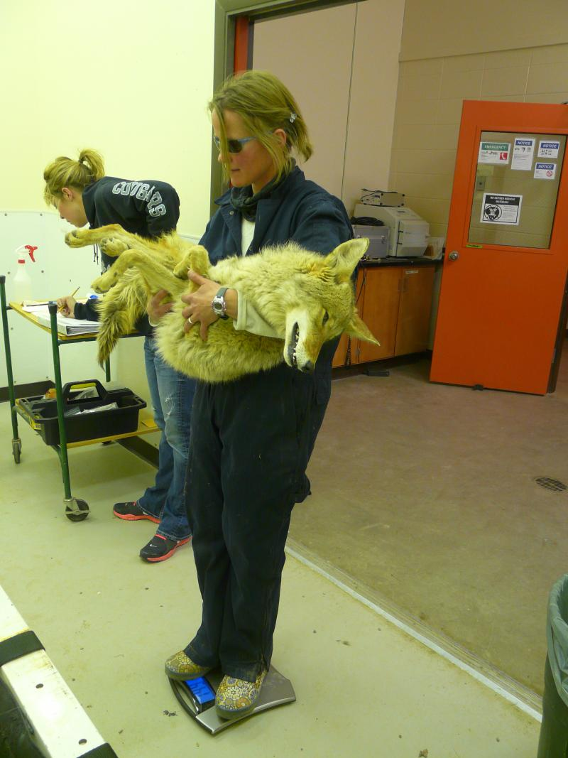 Marjie MacGregor weighs one of the test coyotes