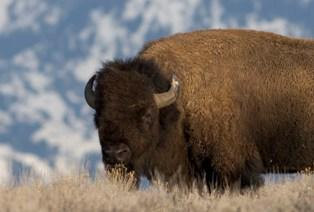 Bison wyoming public media for Wyoming game and fish license