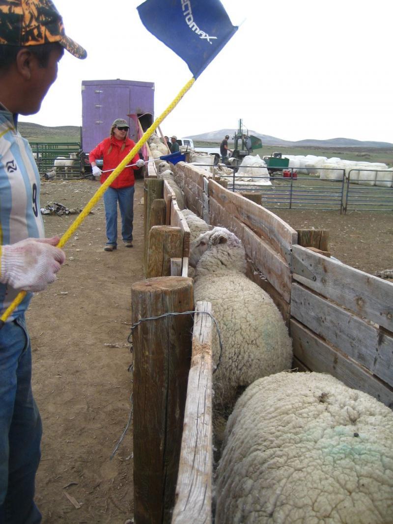 Shepherd Antonio Basualdo Solorzano and Ranch owner Sharon O'Toole queue the sheep for shearing