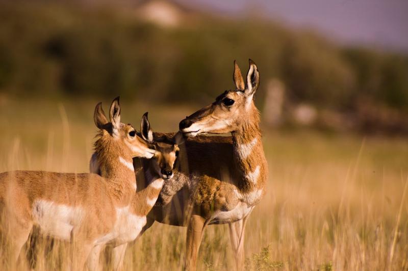 Antelope Family