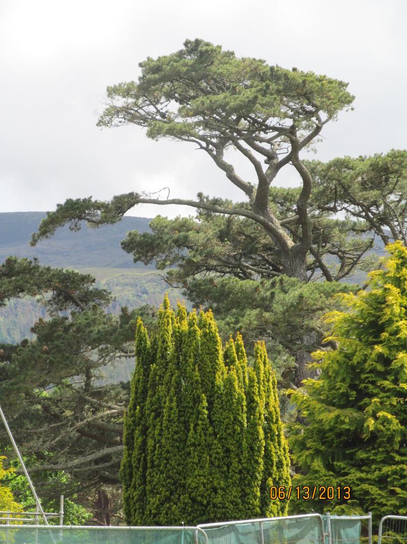 Muckross Trees