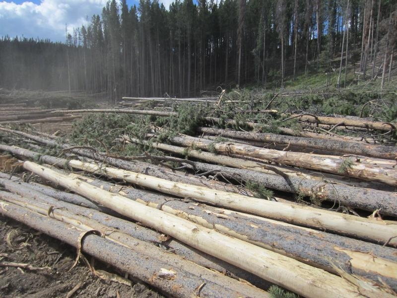 Loggers from Saratoga Forest Management cut down Lodgepole and Ponderosa pine trees. The saw mill can use both live and beetle-killed trees to make two-by-fours.