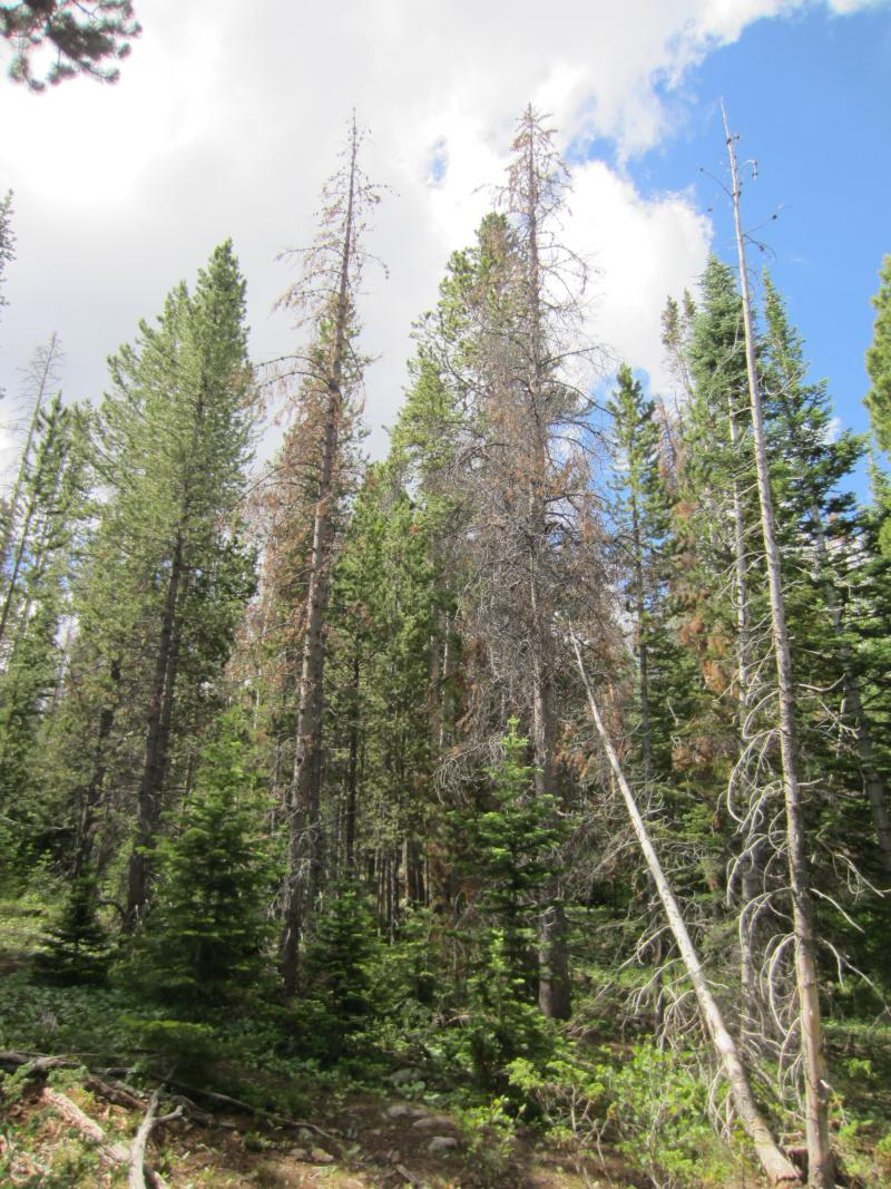 About half of the Lodgepole and Ponderosa pines on Elk Mountain have been killed by bark beetles. Saratoga Forest Management can use both live and beetle-killed trees to make two-by-fours.