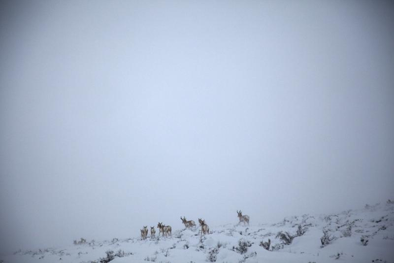 Antelope make their way across the prairie as dusk sets in.