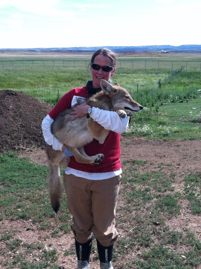 Marjie MacGregor is researching birth control for coyotes