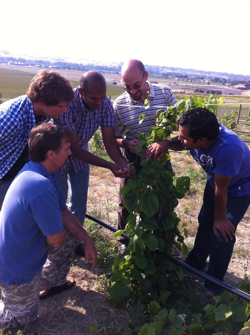 Undergraduate student Braxton Tyree, professors Dan Bergey and Sadanand Dhekney, and graduate students Ali al Hassan and Raju Kandel check their research grape vines on the edge of Sheridan College.