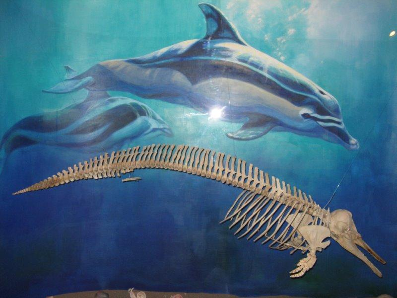 Val the dolpin. In 2006 My husband, Michael and I found the skeleton of a Common Dolphin, Delphinus delphis, while on a paleontological field trip to San Clemente Island.