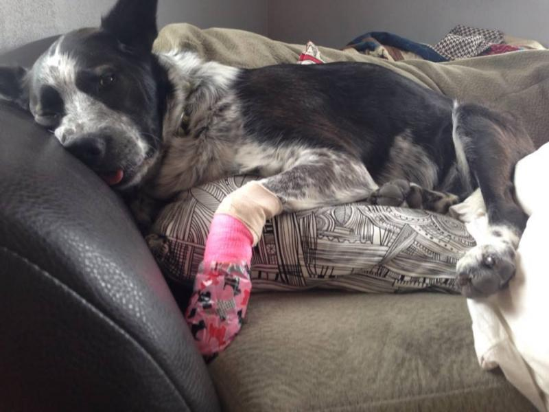 After making her pledge, Shelby took a visit to the vet, and returned with a pink bandage. She did not enjoy Pet Wednesday this year...