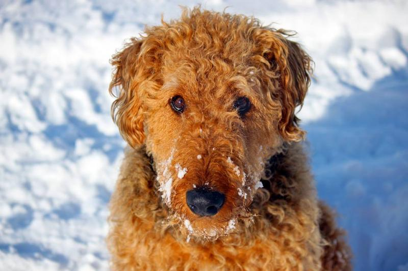 Grits, The Airedale Terrier, From Sundance, Thanks you.