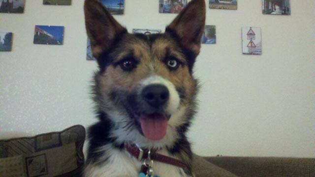 "Leo (my Jack Russell/Siberian Husky mix): He's just so darn ""cute""!"